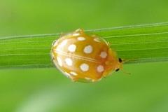 grande-coccinelle-orange-halyzia-seizeguttata